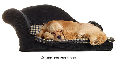 dog laying on dog bed - american cocker spaniel sleeping on...