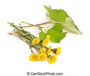 Coltsfoot flowers with leawes isolated