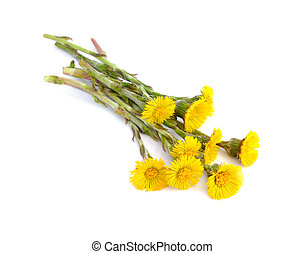 Coltsfoot flowers isolated.