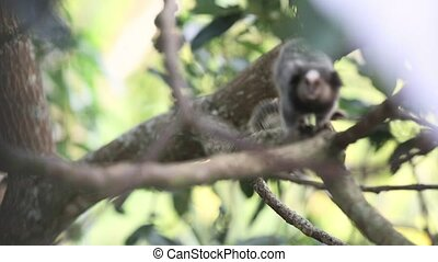 Curious Marmoset Monkey