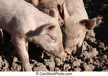 Pigs gossip - Three pigs gossiping in a little farm
