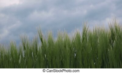 Dolly slider shot of green wheat ears in field swaying on...