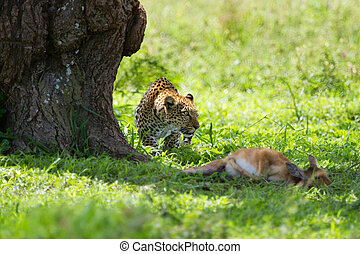 Leopard kill - Leopard with killed antelope in Serengeti...