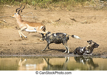 Two wild dogs rest next to a waterhole to drink water - Two...