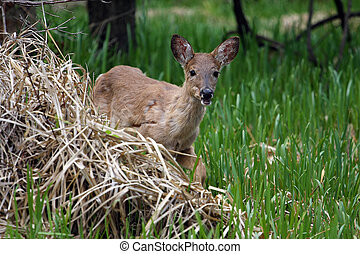 White-tail Deer coming out of marsh grass