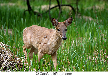 White-tail Deer young shedding winter coat in marsh grass