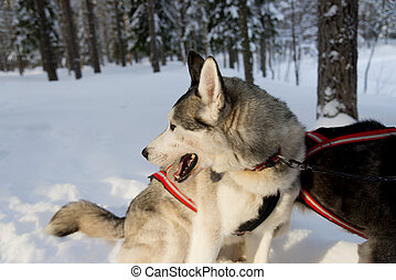 Dogs sledding with huskies in a beautiful wintry landscape,...