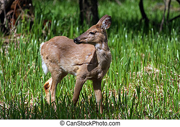 White-tail Deer loosing winter coat in marsh