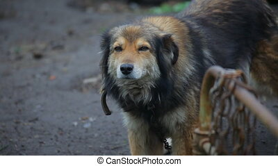 dog with chain on the farm. close up - dog with chain on the...