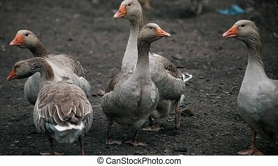 gray domestic geese at farm - gray domestic geese screaming...