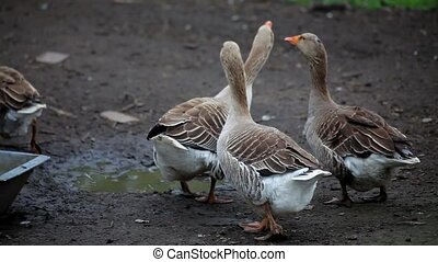 close up of gray domestic geese screaming at farm - close up...