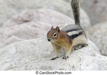 Chipmunk squirrel