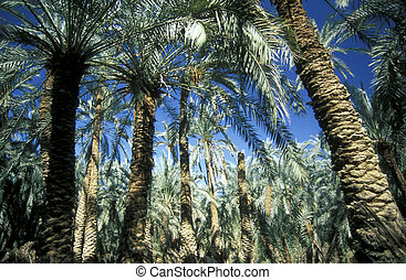 AFRICA EGYPT SAHARA FARAFRA OASIS - Dates Plantation in of...