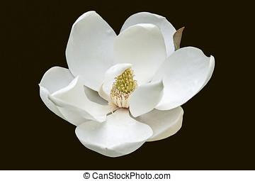 Southern magnolia flower - Southern magnolia (Magnolia...