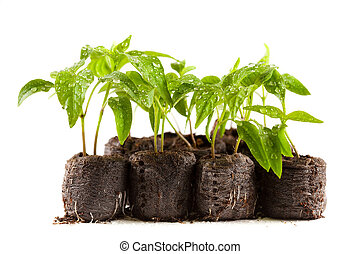 Peppers seedling from a nursery - Little pepper plants with...