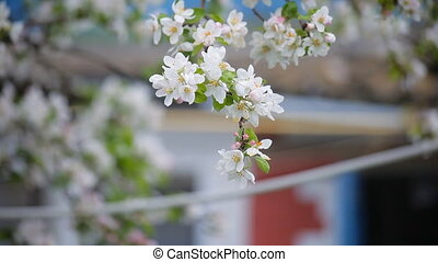cherry blossoms in spring. white flowers on the branches
