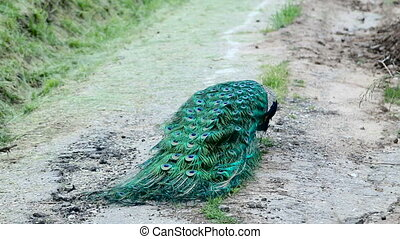 male peacock walking in the Park with drooping tail