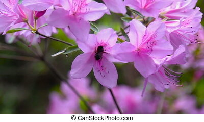 bee on a pink flower collects nectar