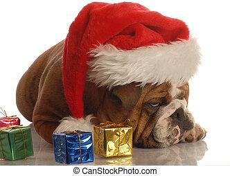 dog with christmas presents - english bulldog with christmas...