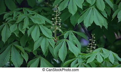 Blooming chestnut Leaves of chestnut Swaying Branches...