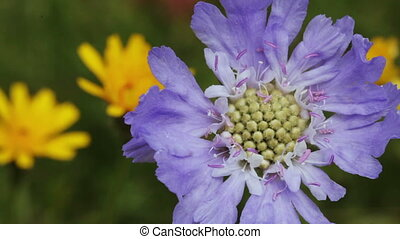 Alpine meadow flower
