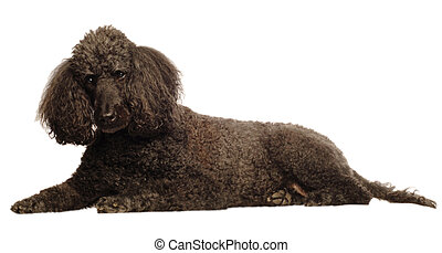 senior standard poodle lying down - black senior standard...