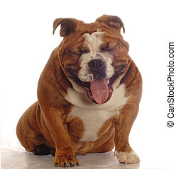 english bulldog laughing - english bulldog with mouth open...