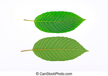 Kratom leaf (Mitragyna speciosa), a plant of the madder...