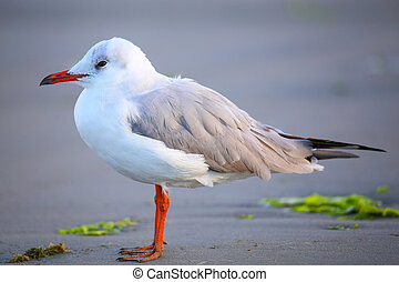 Grey-headed Gull on a beach in Paracas Bay, Peru -...