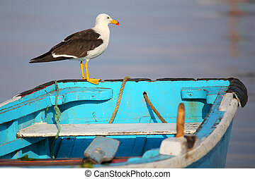 Belchers Gull on a boat in Paracas Bay, Peru Paracas Bay is...