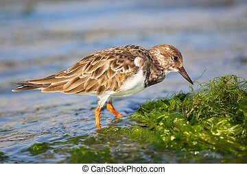 Ruddy Turnstone on the beach of Paracas Bay, Peru - Ruddy...