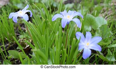 Glory of the snow flowers in nature - Chionodoxa blue...