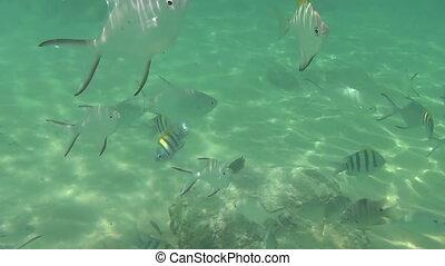 Tropical fish eat banana slices - Tourists feeding tropical...