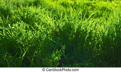 Dreamy meadow grass closeup, backlit by sun, bright...