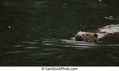 Beaver river West Siberian swims and plays with tail