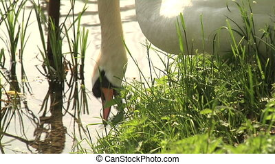 Swan feeding on grass and swimming - Swan eating grass and...