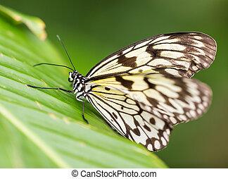 Paper kite (idea leuconoe) in primeval forest. - Paper kite...