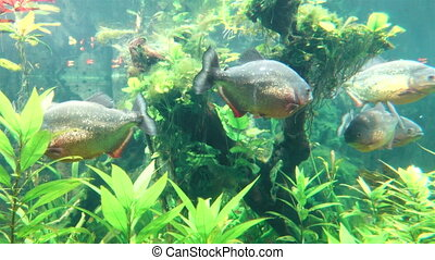 Piranhas Swimming