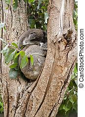 sleeping koalas - the joey koala is sleeping on its mothers...