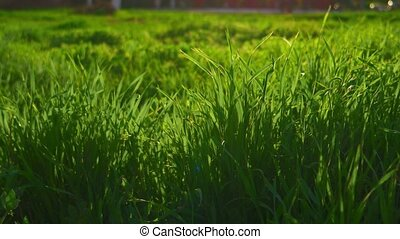 Green grass morning background. Fresh spring grass in park...