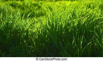 Greeen environment Fresh spring grass backlit by sun morning...