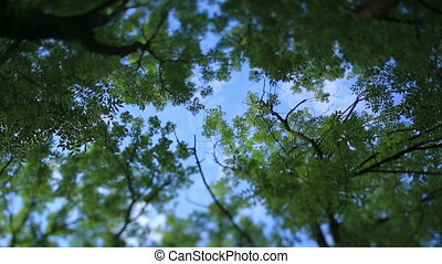 Green spring leaves on tree branches in the forest/ Clear blue sky on background