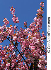 beautiful pink cherry blossom against blue sky