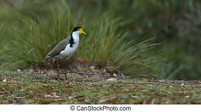 Masked Lapwing - Australian Pelican, Masked Lapwing is...