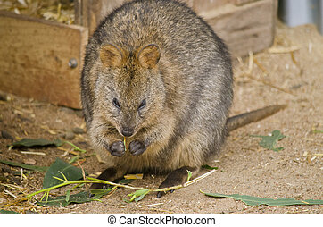 Australian quokka - the Australian quokka is eating a leaf
