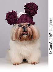 Shih Tzu dog in a knitting hat with pompoms on a grey...