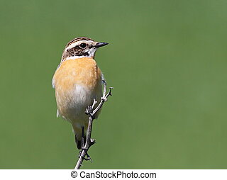 Common Stonechat on green