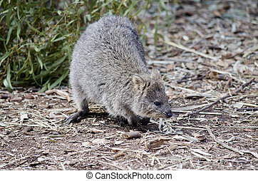 quokka - this is a close of  a quokka