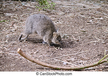 quokka - the quokka is hopping in the field