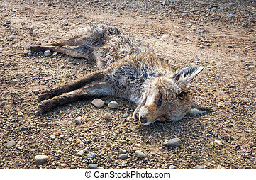 Dead Red fox, Vulpes vulpes, on a dirt road in the plain of...